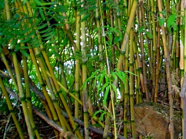 Chusquea Bamboo (Chusquea) https://www.sagebud.com/chusquea-bamboo-chusquea