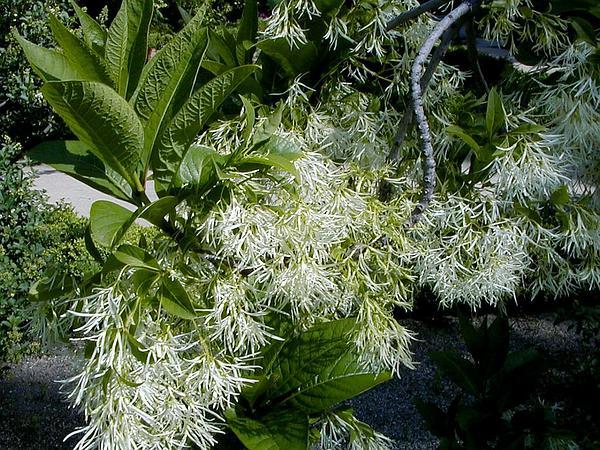 White Fringetree (Chionanthus Virginicus) https://www.sagebud.com/white-fringetree-chionanthus-virginicus/