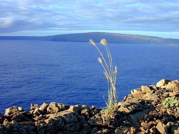 Feather Fingergrass (Chloris Virgata) https://www.sagebud.com/feather-fingergrass-chloris-virgata
