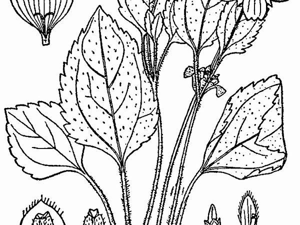 Green And Gold (Chrysogonum Virginianum) https://www.sagebud.com/green-and-gold-chrysogonum-virginianum/