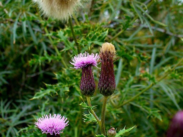 Canada Thistle (Cirsium Arvense) https://www.sagebud.com/canada-thistle-cirsium-arvense