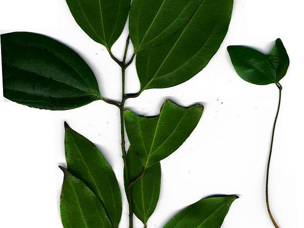 Padang Cassia (Cinnamomum Burmannii) https://www.sagebud.com/padang-cassia-cinnamomum-burmannii