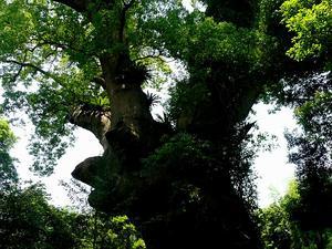 Camphortree