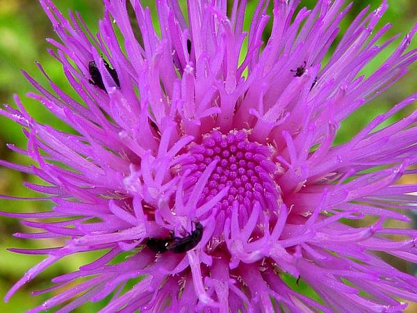 Queen Anne's Thistle (Cirsium Canum) https://www.sagebud.com/queen-annes-thistle-cirsium-canum