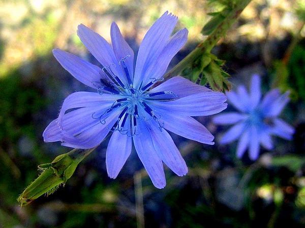 Chicory (Cichorium) https://www.sagebud.com/chicory-cichorium/