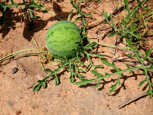 Colocynth (Citrullus Colocynthis) https://www.sagebud.com/colocynth-citrullus-colocynthis/