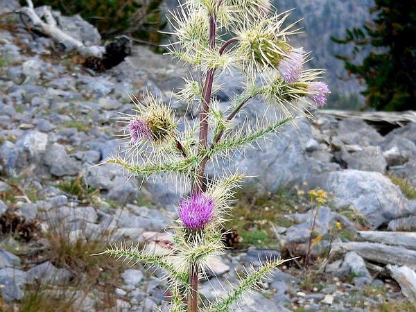 Eaton's Thistle (Cirsium Eatonii) https://www.sagebud.com/eatons-thistle-cirsium-eatonii/