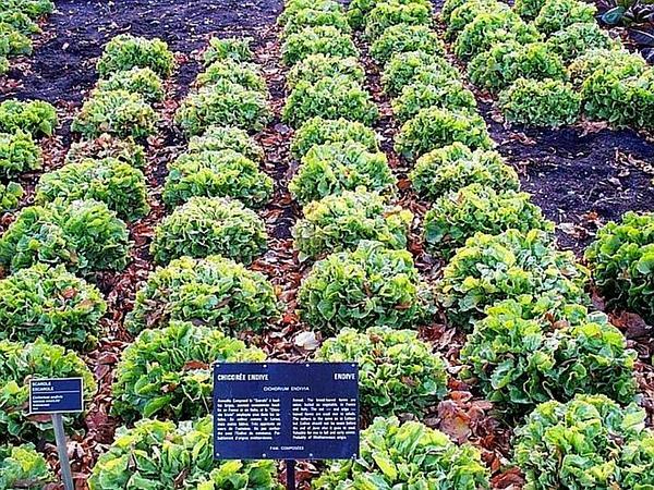 Cultivated Endive (Cichorium Endivia) https://www.sagebud.com/cultivated-endive-cichorium-endivia