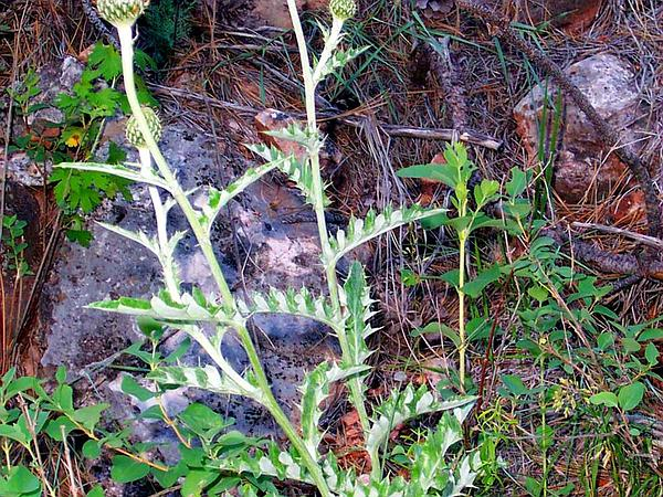 Flodman's Thistle (Cirsium Flodmanii) https://www.sagebud.com/flodmans-thistle-cirsium-flodmanii