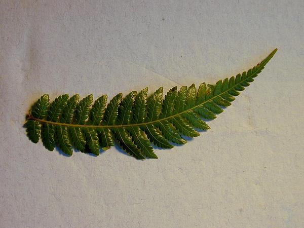 Hapu'U (Cibotium Glaucum) https://www.sagebud.com/hapuu-cibotium-glaucum