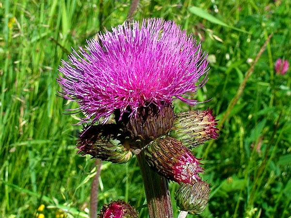 Melancholy Thistle (Cirsium Helenioides) https://www.sagebud.com/melancholy-thistle-cirsium-helenioides