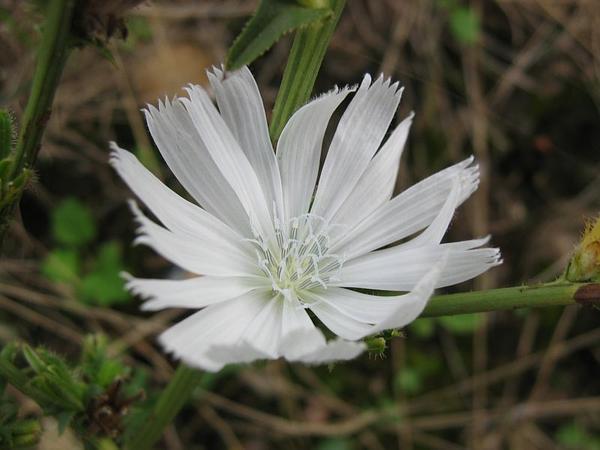 Chicory (Cichorium Intybus) https://www.sagebud.com/chicory-cichorium-intybus