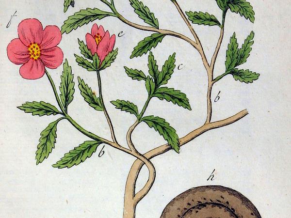 Hairy Rockrose (Cistus Incanus) https://www.sagebud.com/hairy-rockrose-cistus-incanus