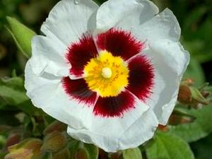Common Gum Cistus