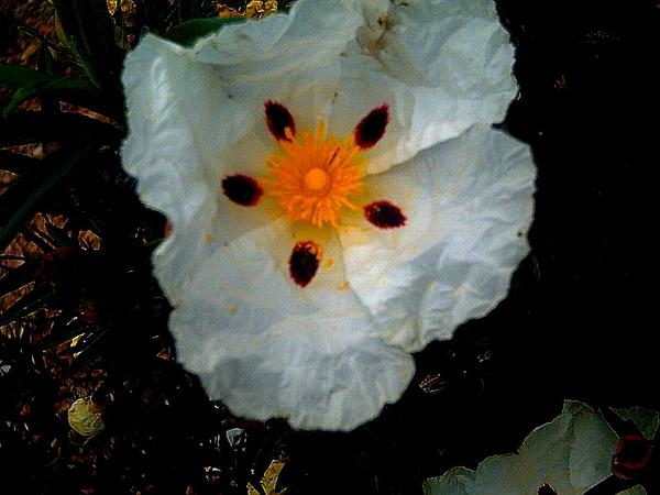 Common Gum Cistus (Cistus Ladanifer) https://www.sagebud.com/common-gum-cistus-cistus-ladanifer