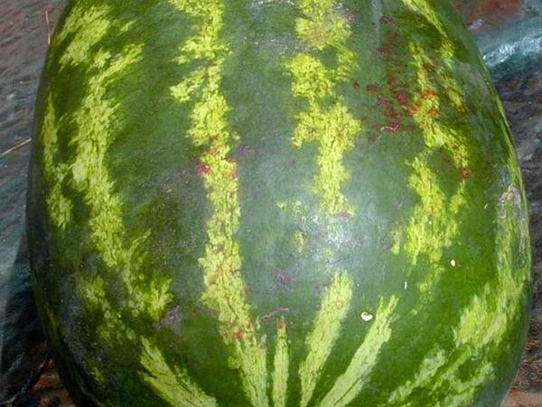 Watermelon (Citrullus Lanatus) https://www.sagebud.com/watermelon-citrullus-lanatus