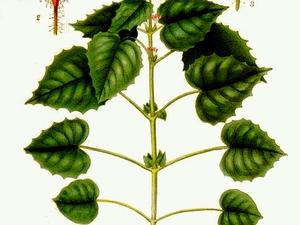 Broadleaf Enchanter's Nightshade