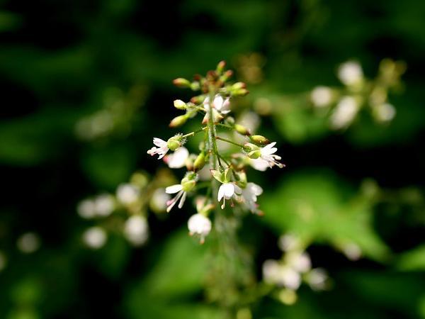 Broadleaf Enchanter's Nightshade (Circaea Lutetiana) https://www.sagebud.com/broadleaf-enchanters-nightshade-circaea-lutetiana