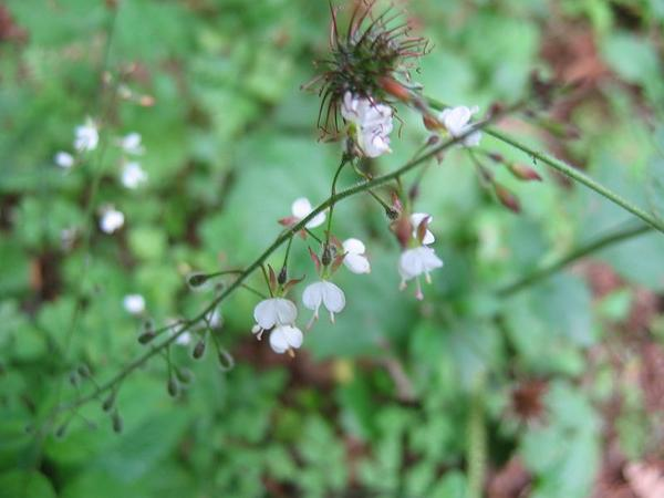Broadleaf Enchanter's Nightshade (Circaea Lutetiana) https://www.sagebud.com/broadleaf-enchanters-nightshade-circaea-lutetiana