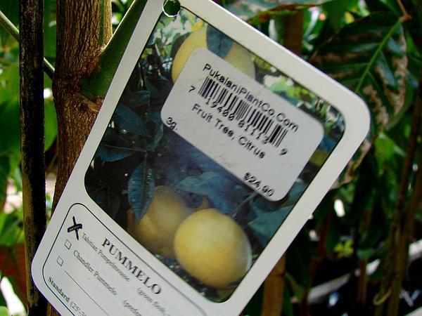 Shaddock (Citrus Maxima) https://www.sagebud.com/shaddock-citrus-maxima