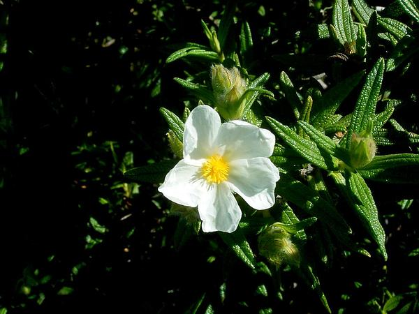 Montpelier Cistus (Cistus Monspeliensis) https://www.sagebud.com/montpelier-cistus-cistus-monspeliensis