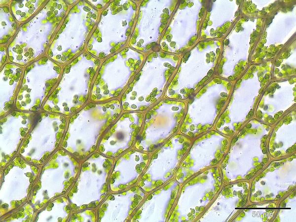 Cinclidium Moss (Cinclidium) https://www.sagebud.com/cinclidium-moss-cinclidium/