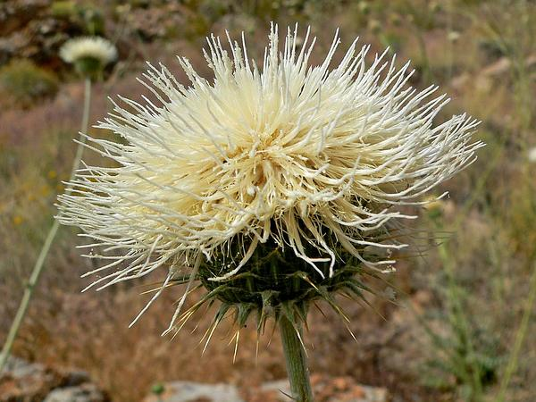 New Mexico Thistle (Cirsium Neomexicanum) https://www.sagebud.com/new-mexico-thistle-cirsium-neomexicanum