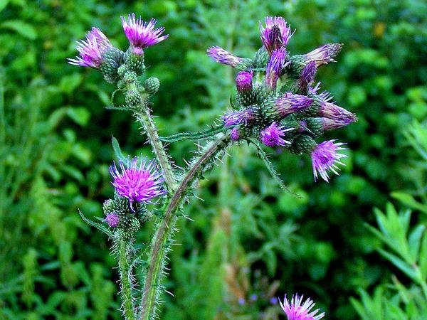 Marsh Thistle (Cirsium Palustre) https://www.sagebud.com/marsh-thistle-cirsium-palustre