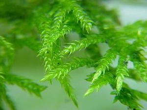 Cirriphyllum Moss
