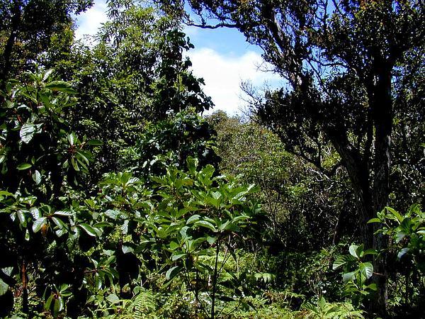 Quinine (Cinchona Pubescens) https://www.sagebud.com/quinine-cinchona-pubescens/