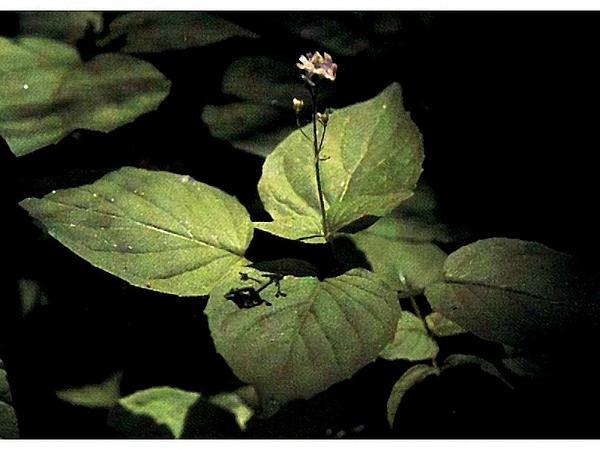 Enchanter's Nightshade (Circaea) https://www.sagebud.com/enchanters-nightshade-circaea