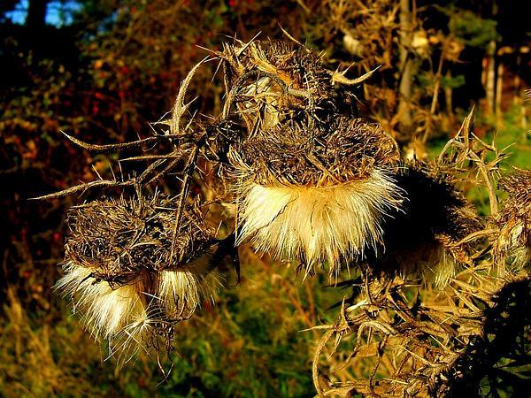 Thistle (Cirsium) https://www.sagebud.com/thistle-cirsium/