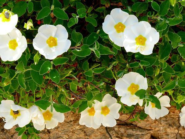 Salvia Cistus (Cistus Salviifolius) https://www.sagebud.com/salvia-cistus-cistus-salviifolius