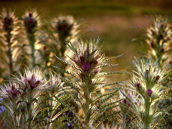 Meadow Thistle (Cirsium Scariosum) https://www.sagebud.com/meadow-thistle-cirsium-scariosum/
