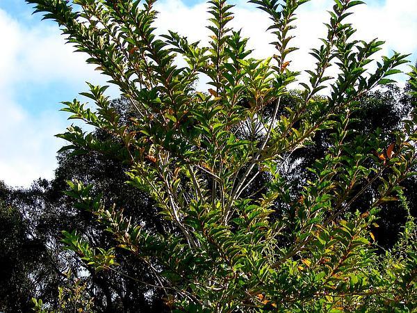 Spiny Fiddlewood (Citharexylum Spinosum) https://www.sagebud.com/spiny-fiddlewood-citharexylum-spinosum