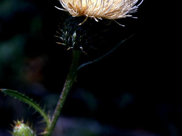 Jackson Hole Thistle (Cirsium Subniveum) https://www.sagebud.com/jackson-hole-thistle-cirsium-subniveum