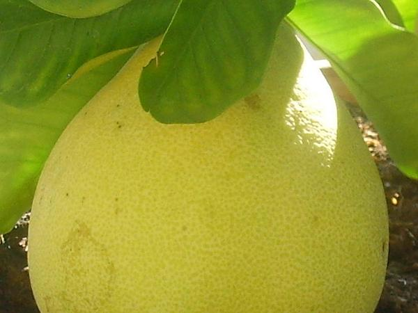 Citrus (Citrus) https://www.sagebud.com/citrus-citrus