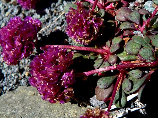Mt. Hood Pussypaws (Cistanthe Umbellata) https://www.sagebud.com/mt-hood-pussypaws-cistanthe-umbellata