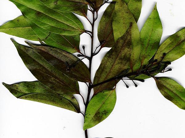 Cinnamon (Cinnamomum Verum) https://www.sagebud.com/cinnamon-cinnamomum-verum