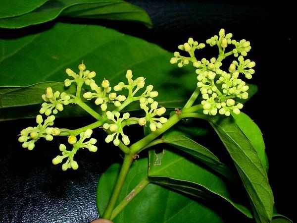 Seasonvine (Cissus Verticillata) https://www.sagebud.com/seasonvine-cissus-verticillata
