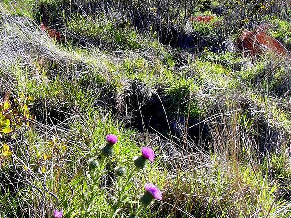 Bull Thistle (Cirsium Vulgare) https://www.sagebud.com/bull-thistle-cirsium-vulgare