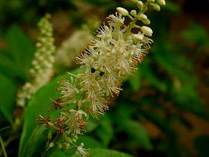 Mountain Sweetpepperbush