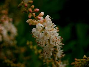 Coastal Sweetpepperbush
