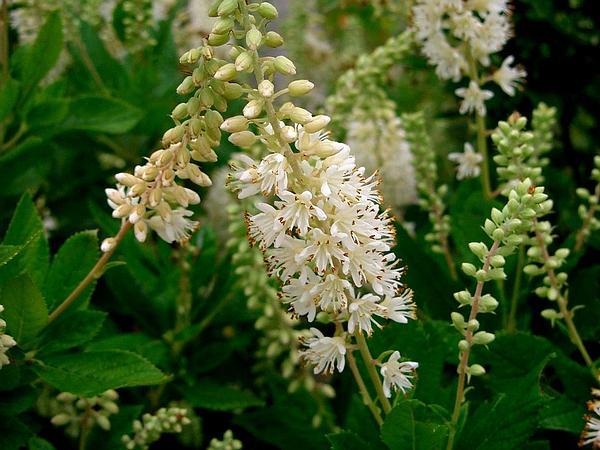 Coastal Sweetpepperbush (Clethra Alnifolia) https://www.sagebud.com/coastal-sweetpepperbush-clethra-alnifolia/