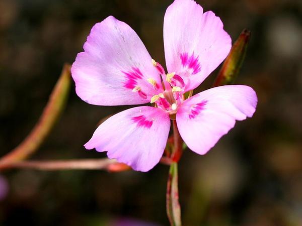 Farewell To Spring (Clarkia Amoena) https://www.sagebud.com/farewell-to-spring-clarkia-amoena
