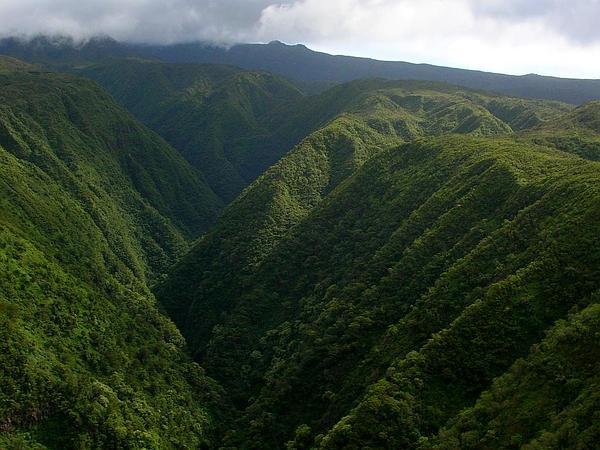 'Oha Wai Nui (Clermontia Arborescens) https://www.sagebud.com/oha-wai-nui-clermontia-arborescens
