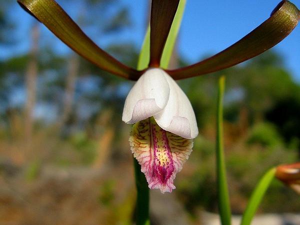 Rosebud Orchid (Cleistes Divaricata) https://www.sagebud.com/rosebud-orchid-cleistes-divaricata/