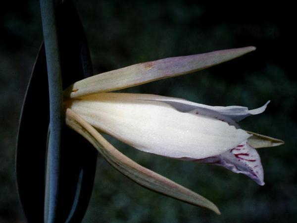Rosebud Orchid (Cleistes) https://www.sagebud.com/rosebud-orchid-cleistes