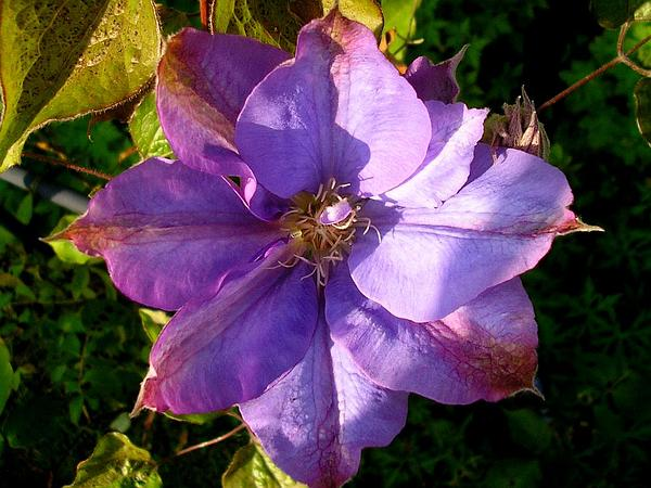Leather Flower (Clematis) https://www.sagebud.com/leather-flower-clematis