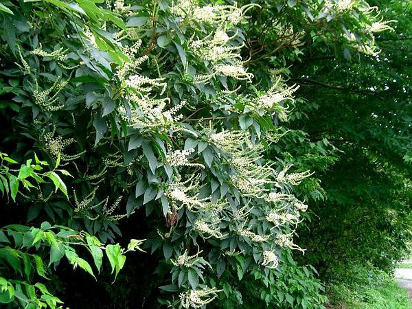 Sweetpepperbush (Clethra) https://www.sagebud.com/sweetpepperbush-clethra